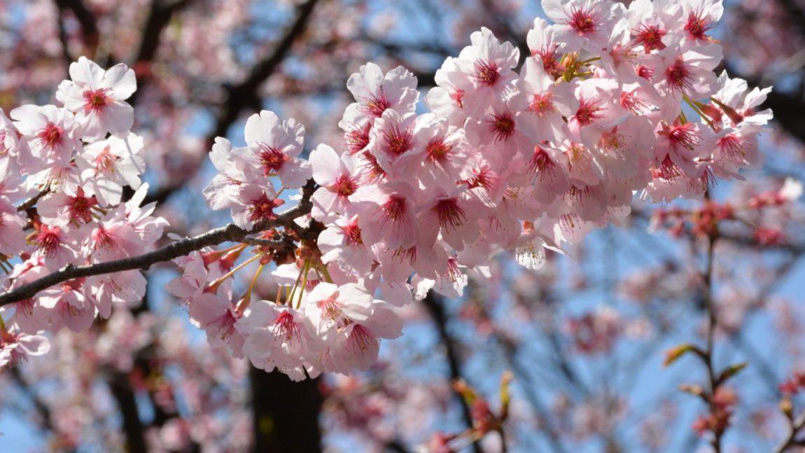 Un Sakura poc florit